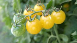New Greenhouse Tomatoes Among New All-America Selections Winners