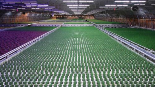 How Osram Is Investing in Horticulture Technology Partnerships