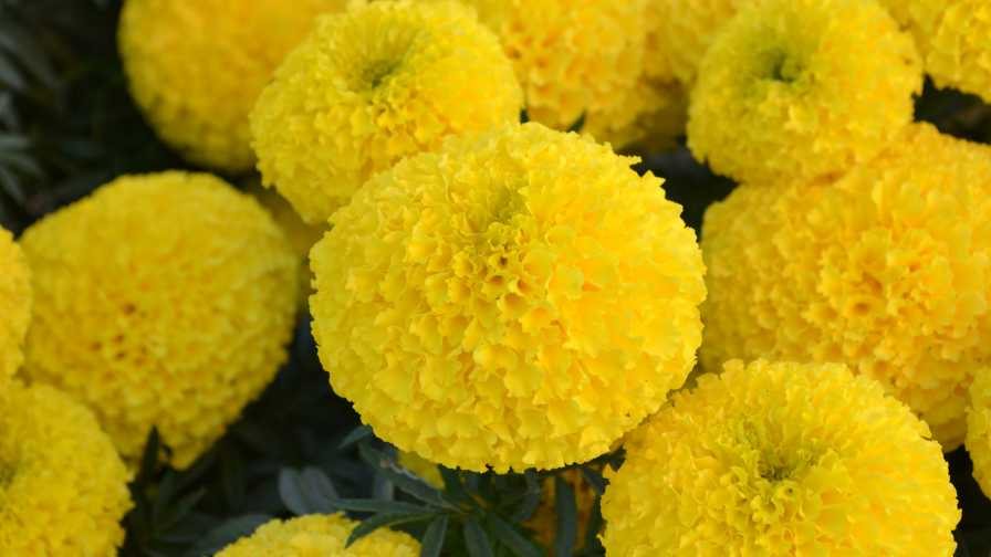 Closeup of Bali Yellow marigold