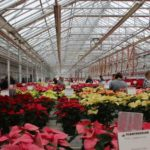 Plantpeddler-Poinsettia-Variety-Day