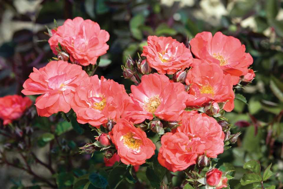 Rose-Coral-Drift-Star-Roses-and-Plants