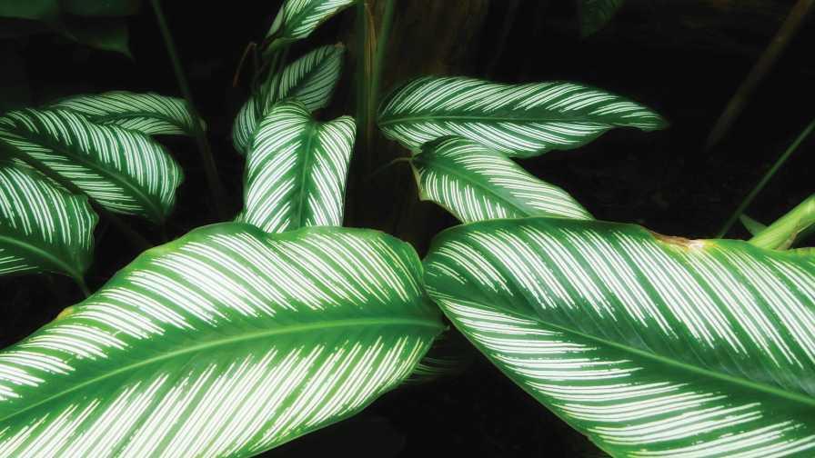 Calathea ornata tropical plant closeup