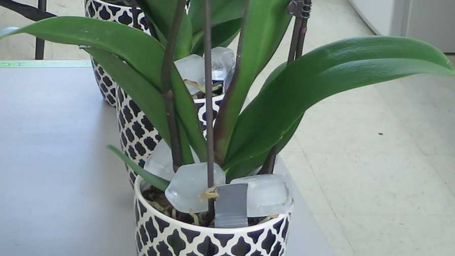 ice cubes used as an irrigation tactic for orchids