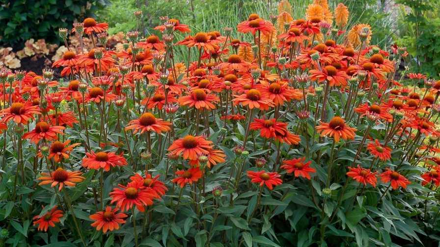 Echinacea 'Kismet Intense Orange' from Terra Nova Nurseries