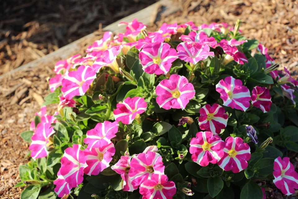 Petunia'AmoreQueen of Hearts' (Danziger) FlowersExpo