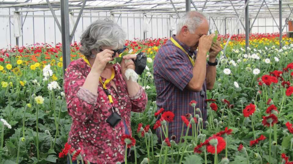 Scouting for thrips in the greenhouse