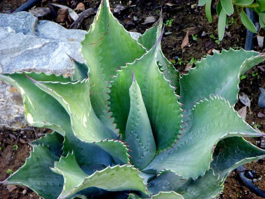 Agave-Mr.-Ripple-Rancho-Tissue-Technologies