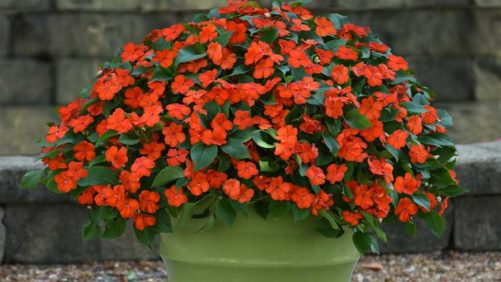 PanAmerican Seed New Impatiens Offers Downy Mildew Resistance
