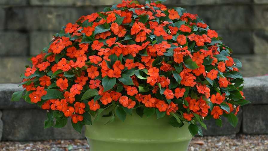 Beacon Impatiens Orange (PanAmerican Seed)
