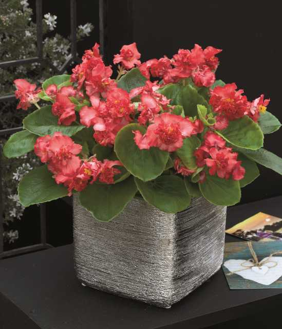 New Petunias and Begonias Set to Debut at CAST 2019
