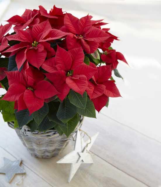 Euphorbia 'Astro Red' (Beekenkamp)