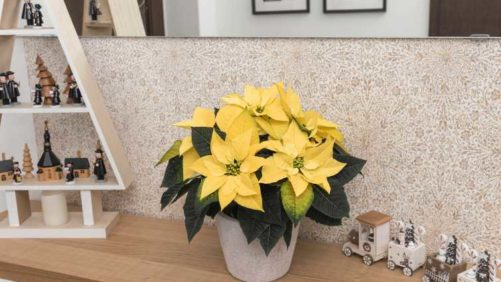 11 New Poinsettias for the Holiday Market