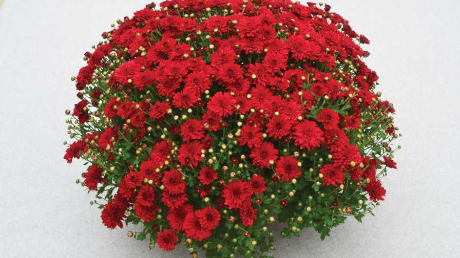 Radiant-Red-Ball-Mums