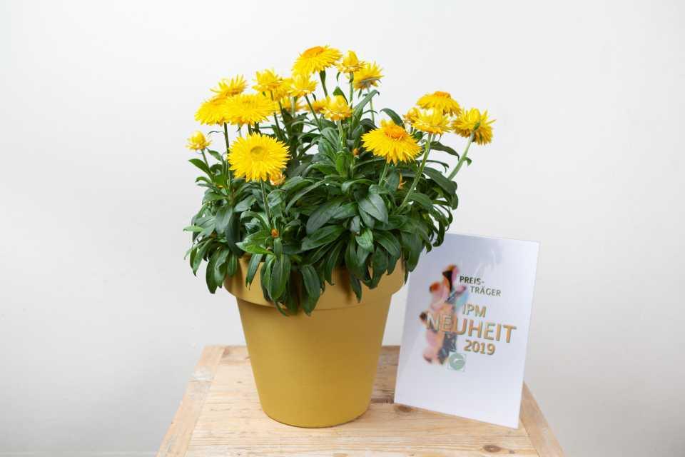 Xerochrysum-bracteatum-Granvia-Gold-MNP-Flowers