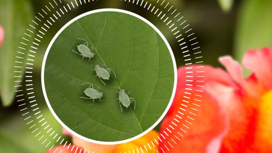 BASF insect management