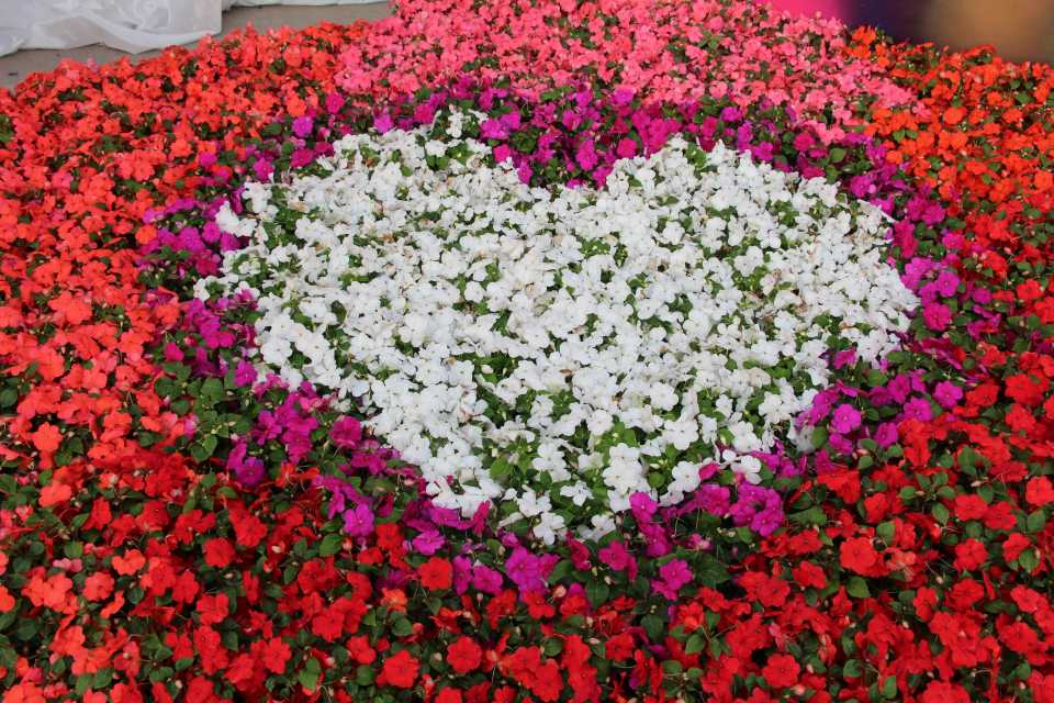 Impatiens heart design at Ball Horticultural