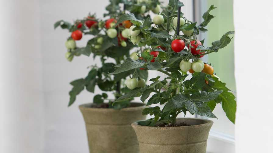 PanAm Kitchen Minis Tomato
