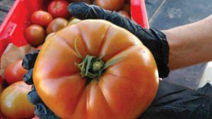 Tomato-at-Rainwater-Farms