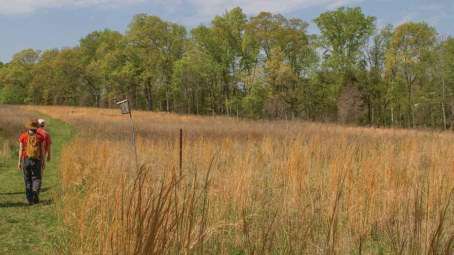 Andropogon grass