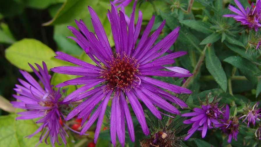 Aster Purple Dome closeup