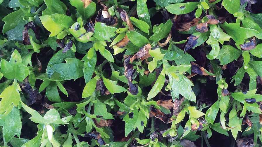 Bacterial leaf spot symptoms on chrysanthemum