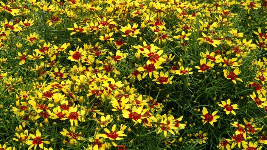 Coreopsis-Firefly-Terra-Nova-Nurseries