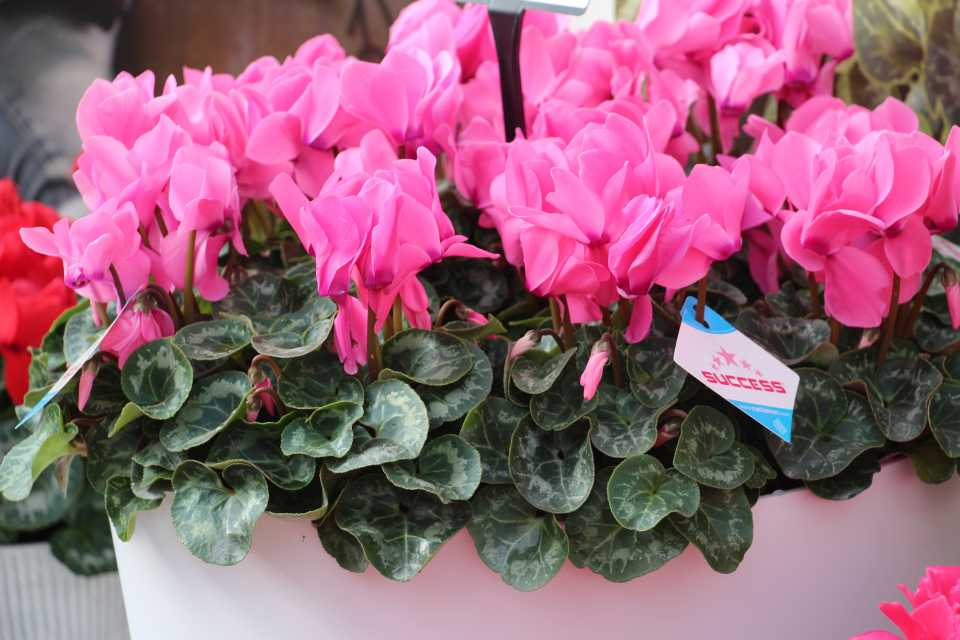 15 New Cool-Weather Annuals From Spring Trials 2019