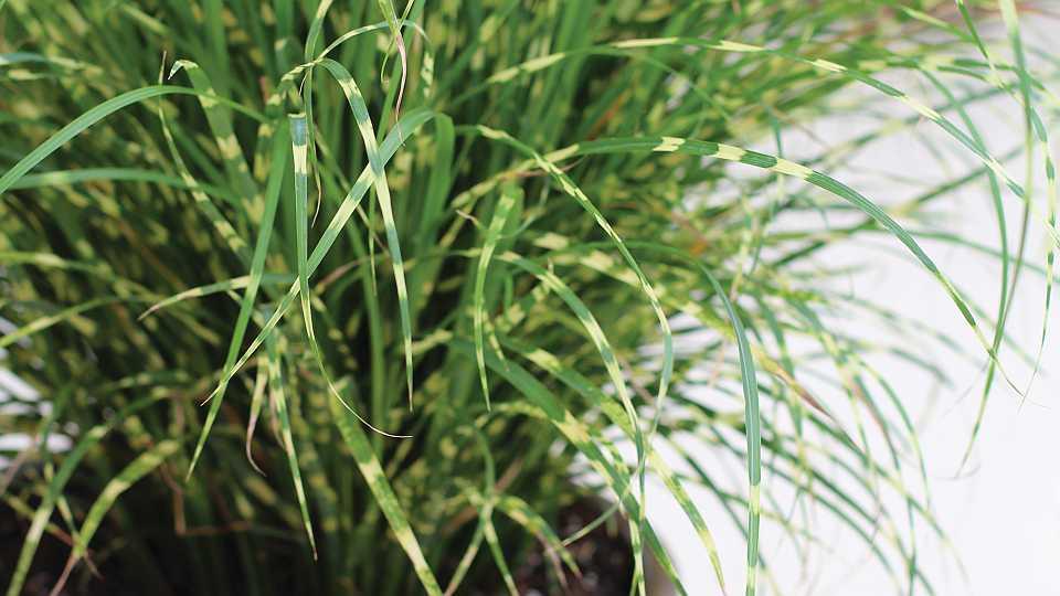Miscanthus Bandwidth ornamental grass