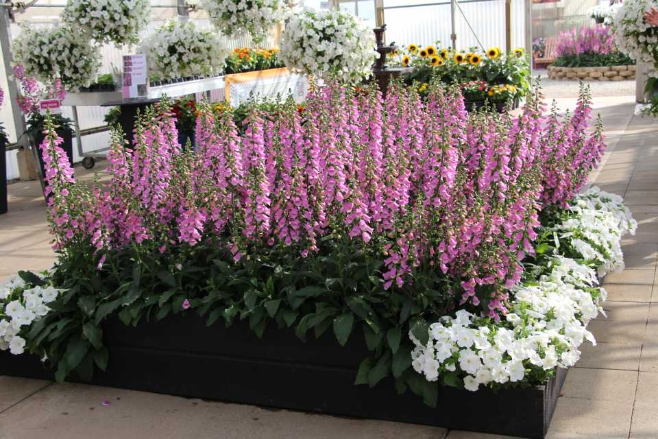 Two Standout Digitalis (Foxglove) From California Spring Trials 2019