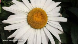 Leucanthemum 'Betsy'