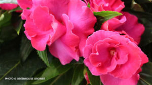 New Guinea Impatiens 'Roller Coaster Hot Pink'