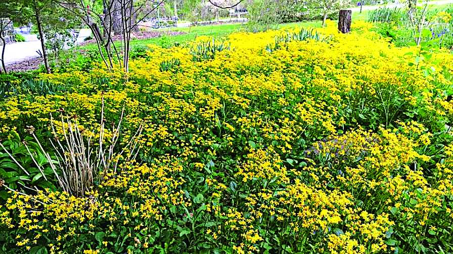 Packera planting
