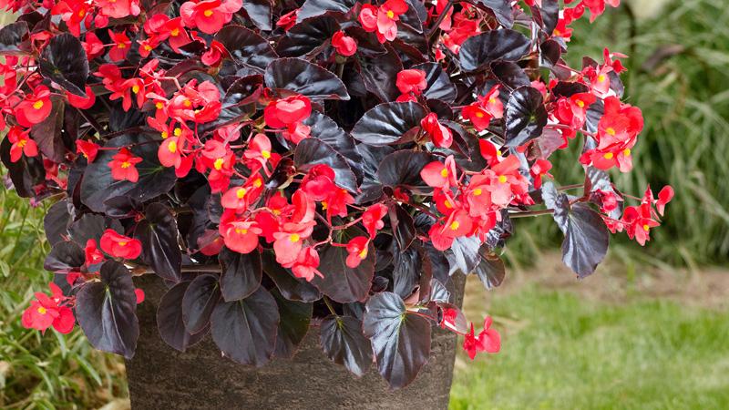 Viking Begonia Greenhouse Grower