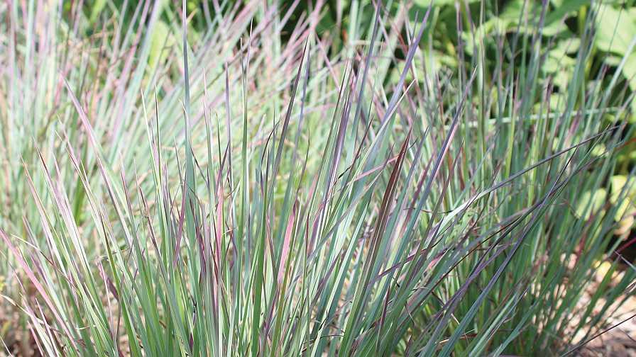 Schizachyrium grass