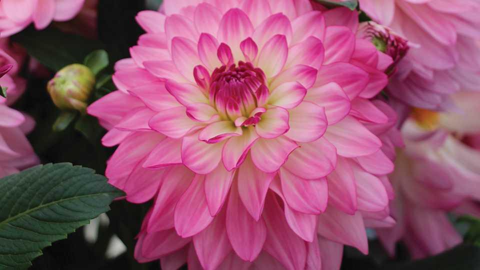 Dahlia Sincerity from Syngenta Flowers