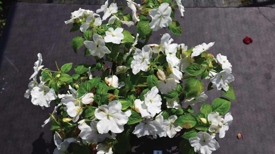 Impatiens 'Imara XDR White' exposed to downy mildew