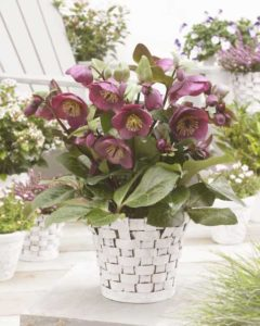Helleborus 'Charmer' (Pacific Plug and Liner)