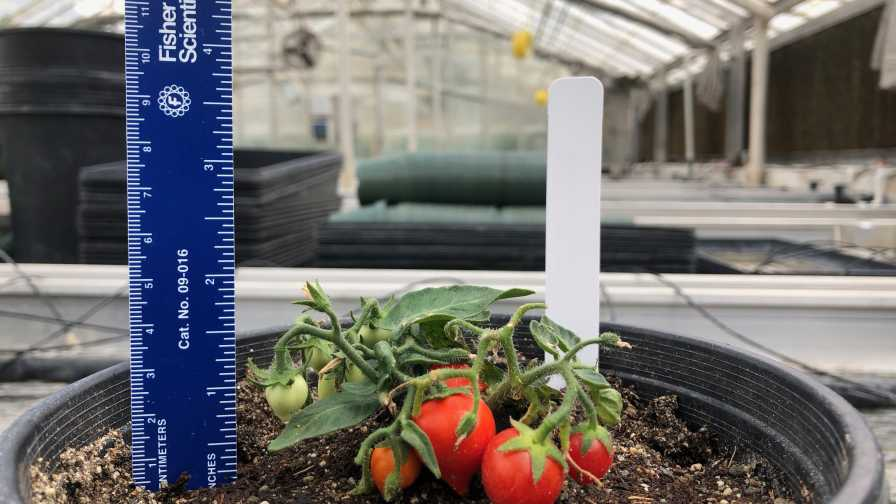 Space tomatoes Web