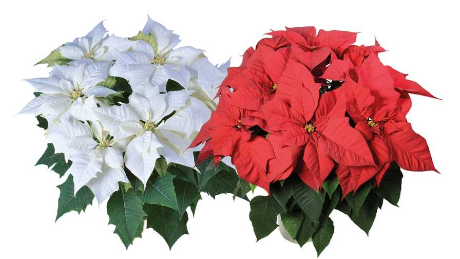 Syngenta flowers and Lazzeri Poinsettias