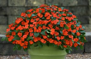 Beacon Impatiens (PanAmerican Seed)