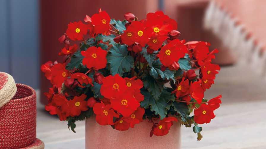 Begonia eliator Dreams MacaRouge (Beekenkamp) fleuroselect award