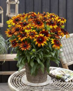 Rudbeckia Summerina Fringle Fudge