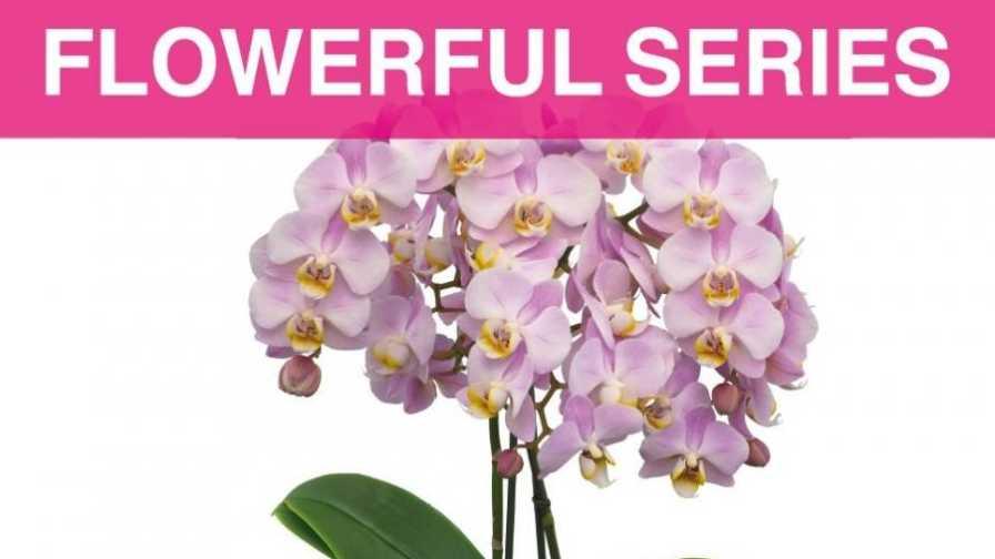 Floricultura Flowerful Phalaenopsis Series
