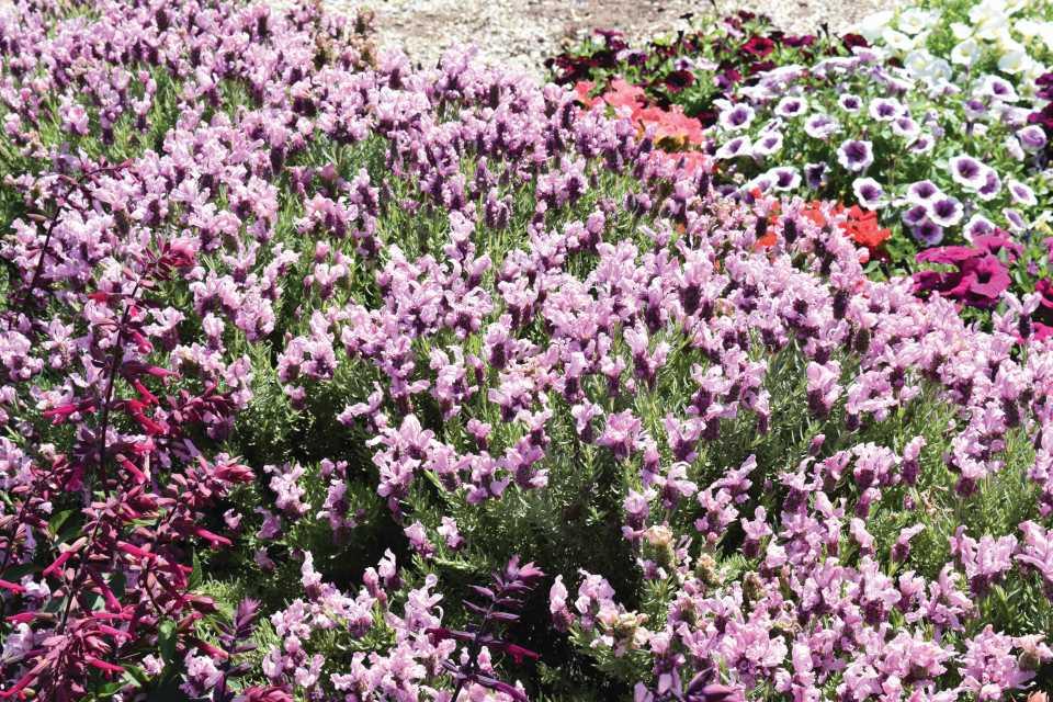 Lavendula Madrid Lavish Pink (Green Fuse Botanicals)