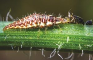 biocontrols, beneficial insects, green lacewing