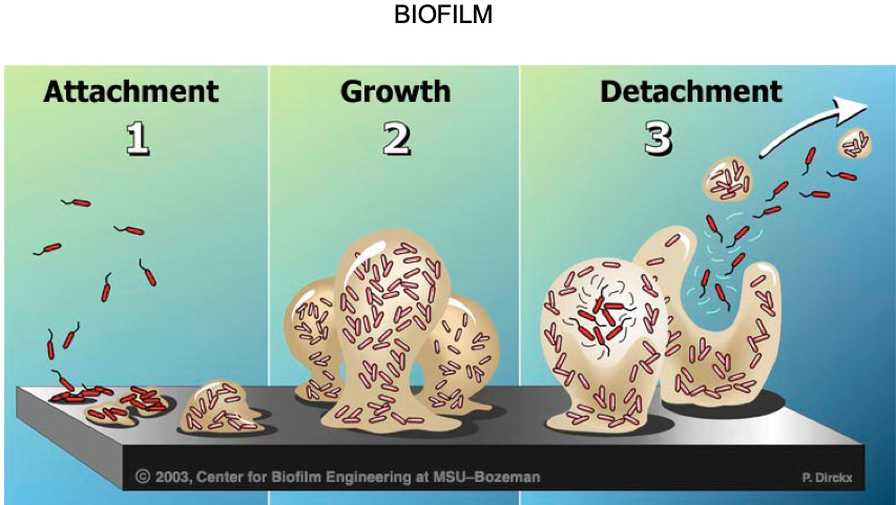 Biofilm Stages Graphic from LL Klink