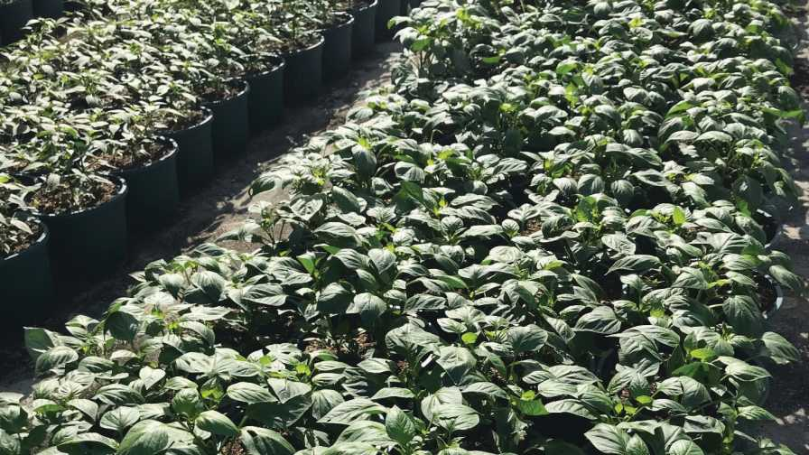 Greenhouse pepper production