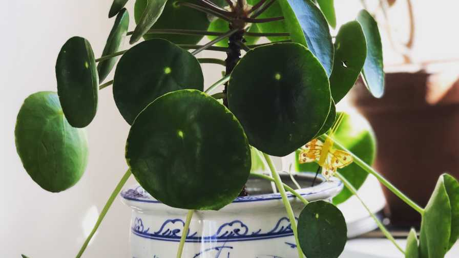 Potted pilea plant with personality