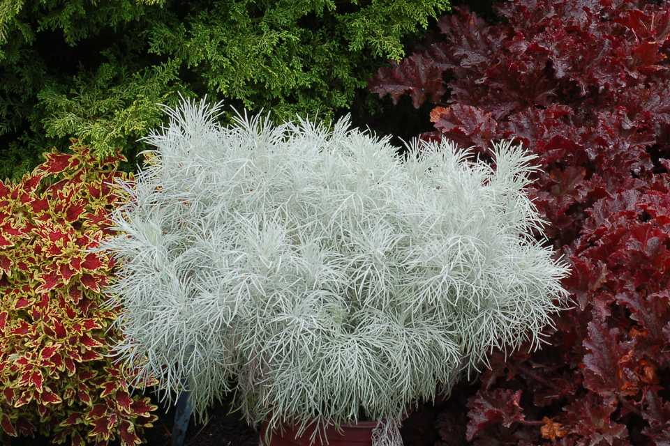 Artemisia Makana Silver (Terra Nova Nurseries) University of Georgia trial gardens
