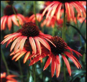 Echinacea Art's Pride Orange Meadowbrite